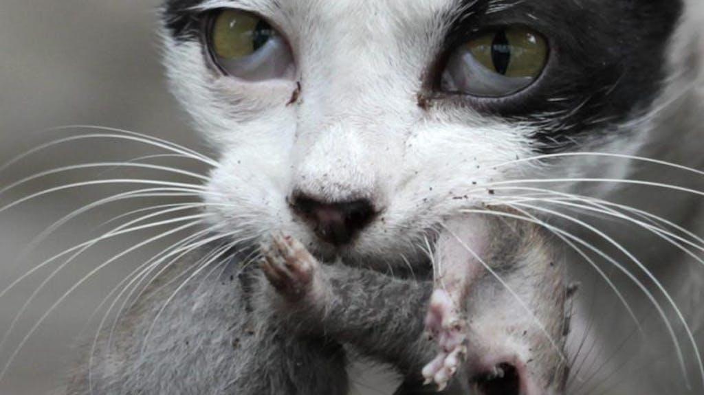 katzen helfen nur bedingt gegen ratten. Black Bedroom Furniture Sets. Home Design Ideas