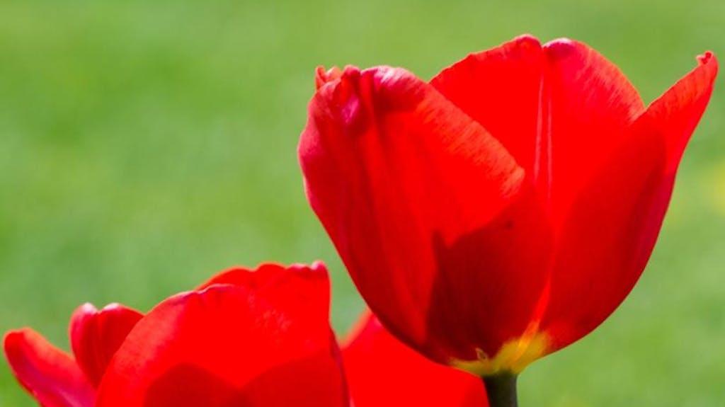 tulpen länger frisch
