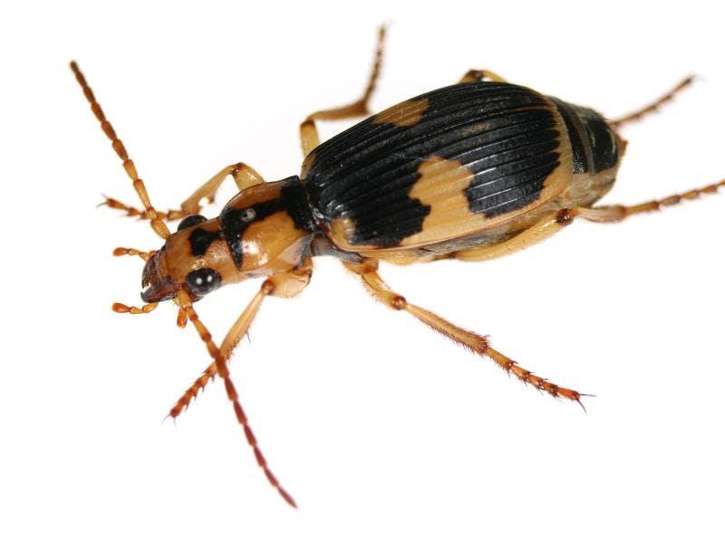 Wie ein Käfer um sein Leben furzt
