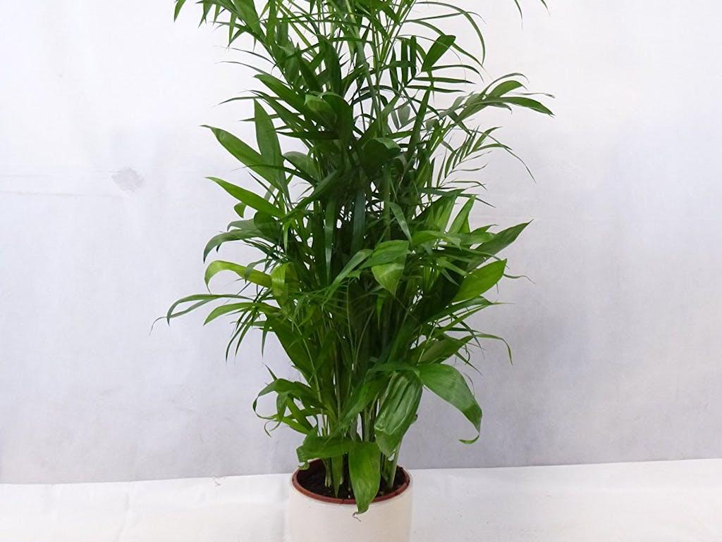 Das sind die 10 besten pflanzen f r ein gutes raumklima - Bambus zimmerpflanze pflege ...