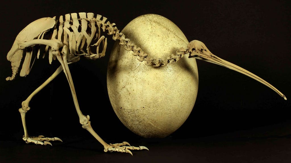ausgest. neuseeländischer vogel