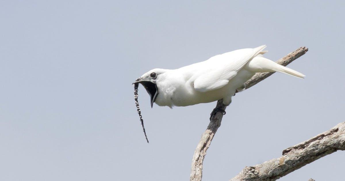 Lautester Vogel Der Welt