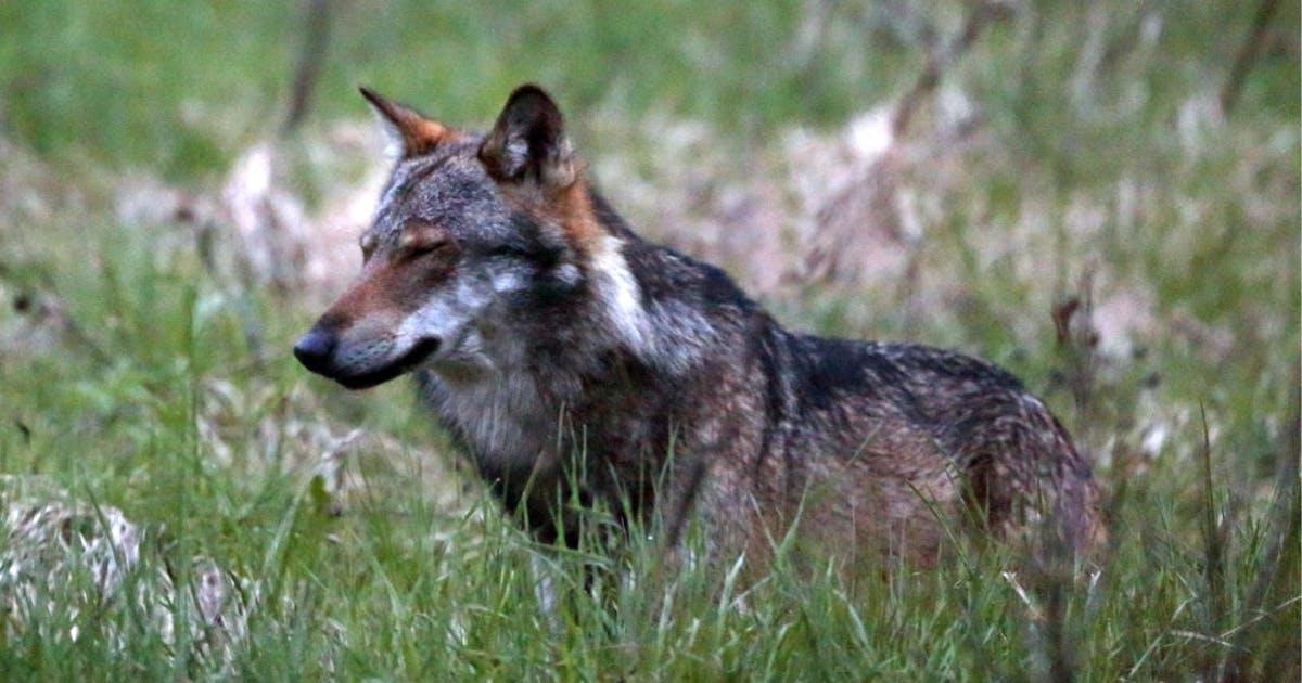 Wolfsrisse