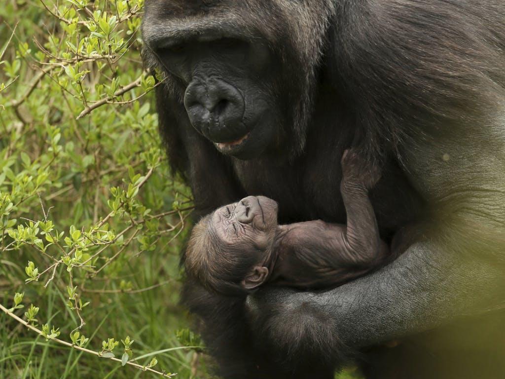 cd0068c05d1d4 Gorilla-Baby in Dubliner Zoo