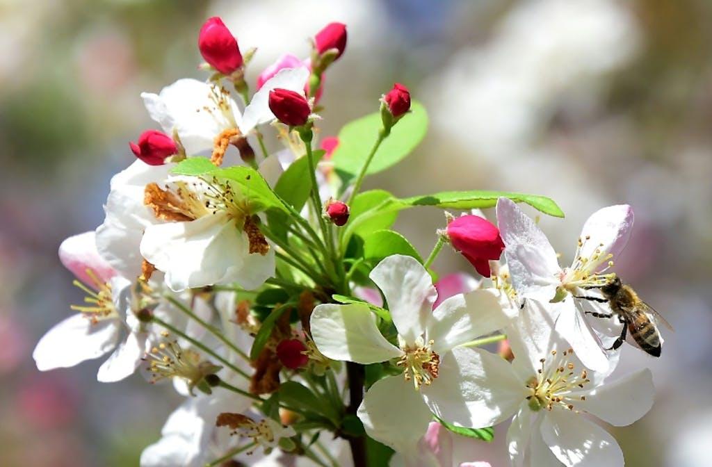 """Résultat de recherche d'images pour """"pommiers""""en fleurs"""""""