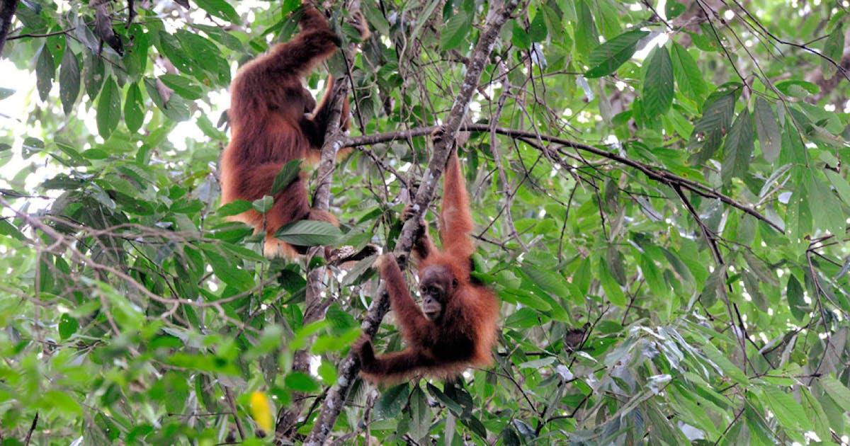 Warum Orang-Utan-Mütter sich laut kratzen