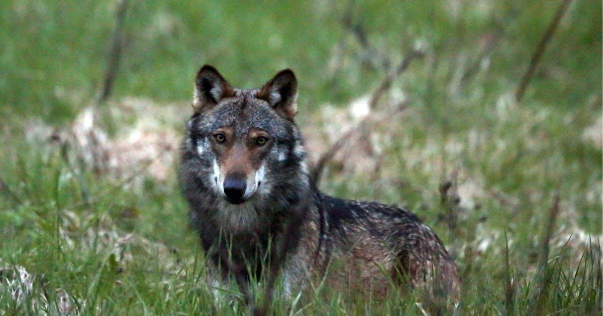 Parlament gibt Wolf zum Abschuss frei – selbst in Schutzgebieten