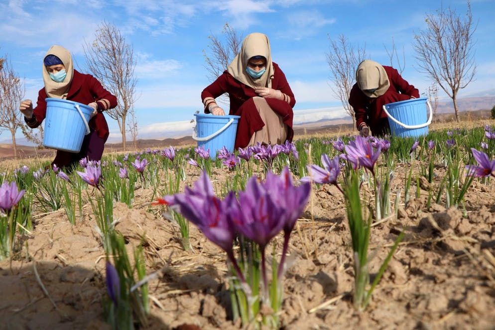 epa07162520 Afghan women harvest saffron flowers in Herat, Afghanistan, 13 November 2018. According to reports the saffron industry in the province of Herat has hired more than five thousand farmers with 40 percent of them being women, to cultivate about one thousand acres of land (about four square kilometers). The World Bank states that saffron is a lucrative alternative to poppy cultivation while international buyers around the world have been attracted by its good quality including Europe, US, China, and India.  EPA/JALIL REZAYEE