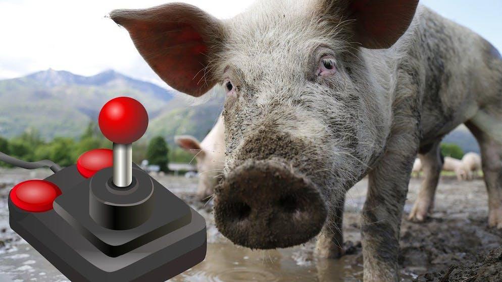 Os porcos podem resolver quebra-cabeças simples para conseguir comida.