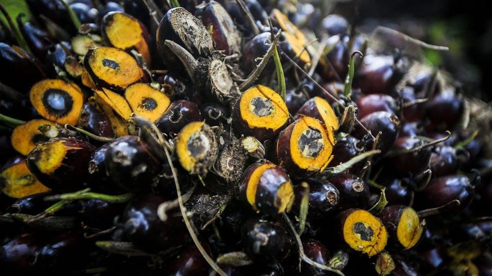 epa05651447 (07/42) Tampilan jarak dekat dari buah kelapa sawit di Deli Serdang, Sumatera Utara, Indonesia, 16 September 2016. Indonesia adalah produsen minyak sawit terbesar di dunia, terbuat dari buah kelapa sawit, diikuti oleh Malaysia.  Perkebunan kurma yang dibangun di atas hutan hujan tropis yang hancur telah menyaksikan kematian dan perpindahan banyak spesies, di antaranya orangutan yang terancam punah.  Minyak sawit merupakan bahan dalam banyak produk di rak supermarket.  Kelompok konsumen menekan pengguna akhir untuk membeli produk yang mengandung alternatif atau minyak sawit dari sumber yang berkelanjutan saja, memperingatkan spesies dan habitat perawan di ambang kehancuran selamanya bagi umat manusia.  EPA / DEDI SINUHAJI Silakan merujuk ke pemberitahuan nasihat (epa05651440) untuk teks dari paket lengkap