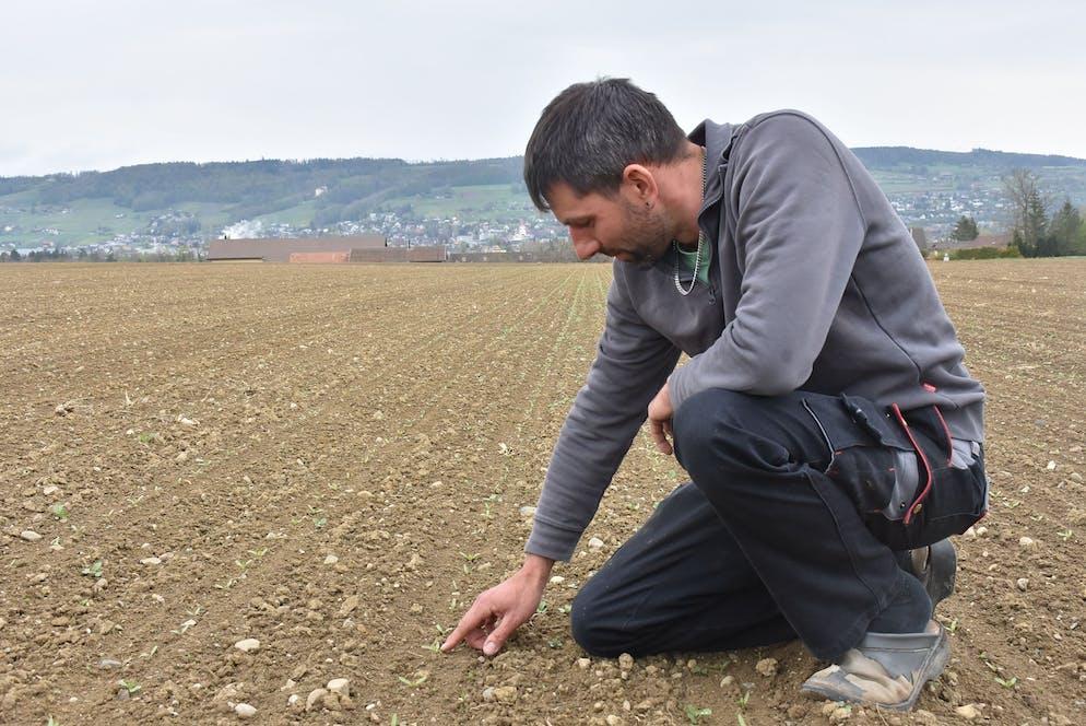 Bauer Silvan Ziegler kontrolliert seine Zuckerrübensprösslinge auf Schädlingsbefall.