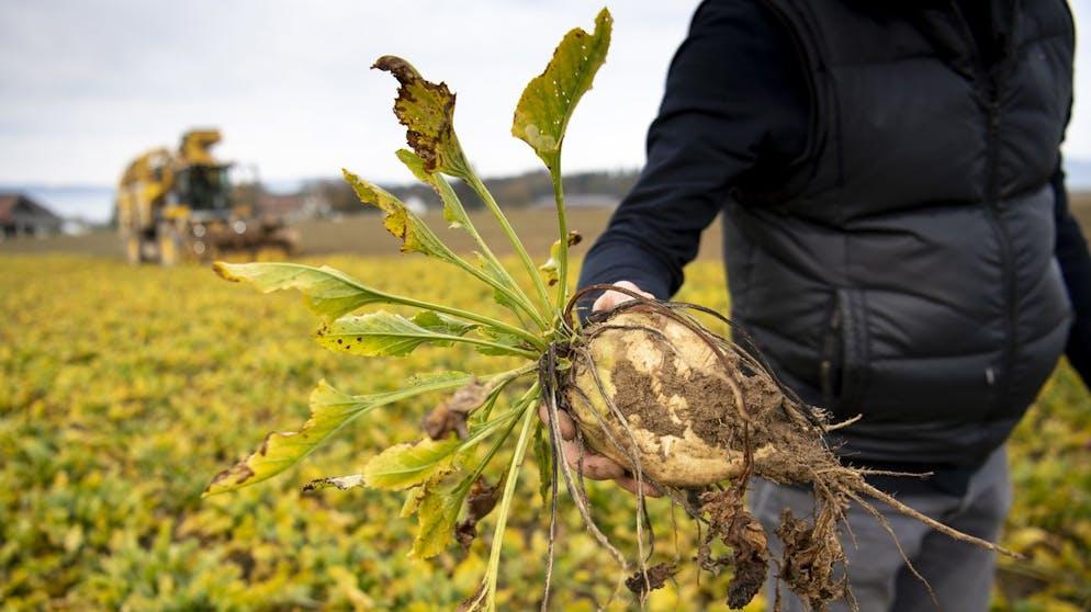 Früher als «Weisses Gold» bezeichnet, kämpft der Schweizer Zucker heute um seine Rentabilität, unter anderem weil Schädlingsbefall wie auf diesem Feld zu Ernteausfällen führt.