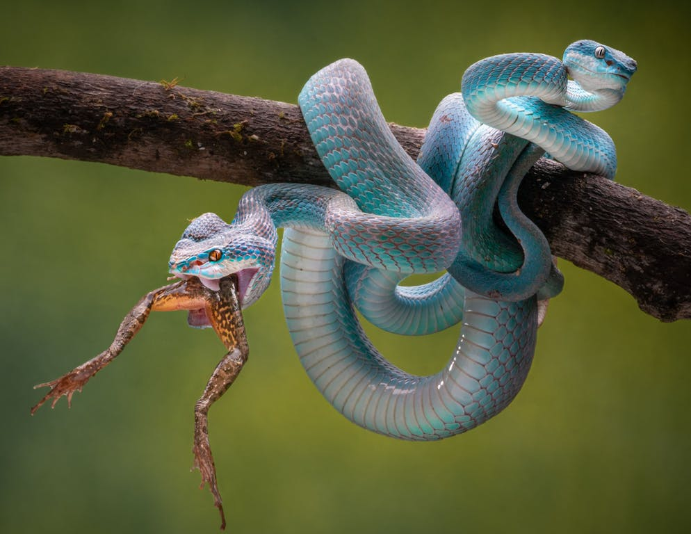 Chin Leong Teo (Japon) Titre: Vipère à deux têtes Le Blue Insularis est une sous-espèce de vipère très venimeuse originaire d'Asie du Sud-Est.
