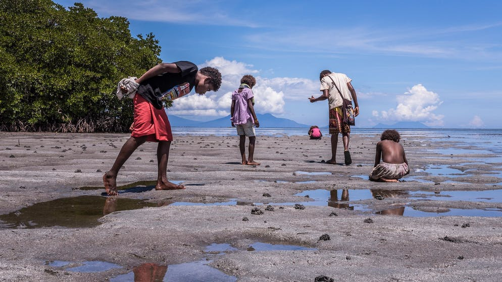 Picking Nassariidae snails in the slit of a muddy shoreline (close to the mangroves).   Until 1987 the Tolai had ventured from Lunga Lunga village near Kokopo by the use of sailing canoes towards West New Britain, mostly to a place called Baia. With the arising North-West winds during February till March, they would start their expedition (40-50 people). And they'd sail back together around July with the South-East wind. The family of Nassariidae snails which the Tolai are looking for can be found worldwide. In a suitable habitat like the Pacific shorelines, this type of mollusk is present in huge numbers. Most of all, they prefer shallow water and crawl around in sandy or muddy sediments right next to the mangroves (delta of rivers), but sometimes these marine snails can also be found in deeper waters close to the corals.   Because of the high demand from the Tolai and the Baining, most grounds in the area of Kokopo and Rabaul have been overharvested. That's why the shell money users need to buy new shell money from elsewhere. New places like West New Britain (Baia, Bacada, Volvolu) but also in South of West New Britain (Kandrian) are in fashion. But the big scale of new shell money is coming in from Bougainville Cacun Beach (Harvest Paradise), or the Salomon Islands -> through Richard (the main trader). The islanders from the Salomons know about the demand of the Tolai and see it as a good job opportunity to make some cash. Some other Tolai traders still import from New Ireland but in smaller amounts.  The difficulty of collecting and processing the Nassariidae shells prevents the devaluation of Tabu shell money.